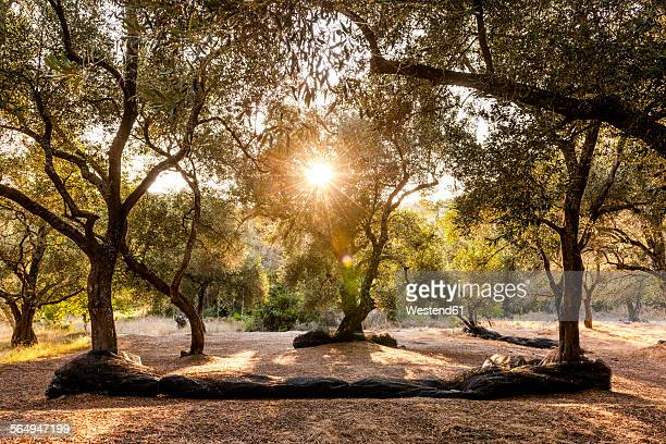 Greece, Corfu, olive orchard at sunset