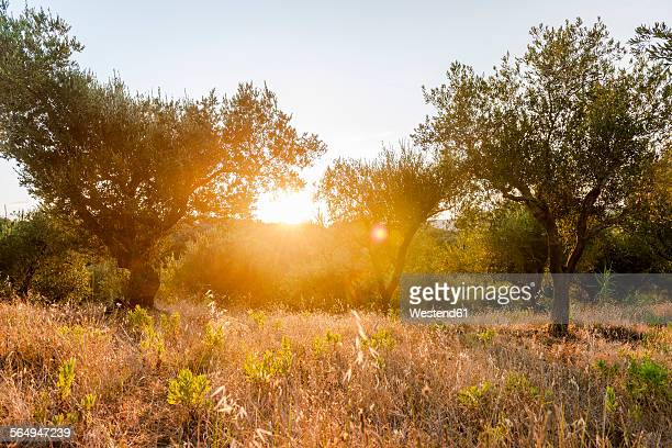 greece, corfu, olive orchard at sunset - olive orchard stock photos and pictures