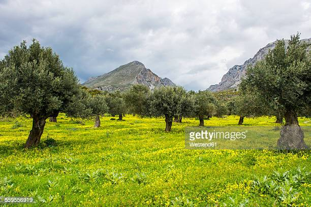 greece, crete, blooming field with olive trees - olive orchard stock photos and pictures