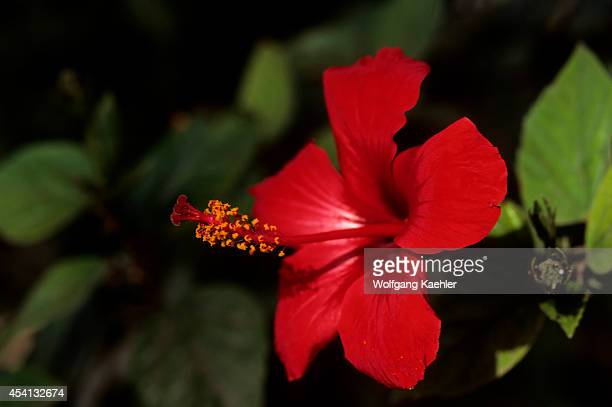 Greece Crete Herakleon Hibiscus Flower