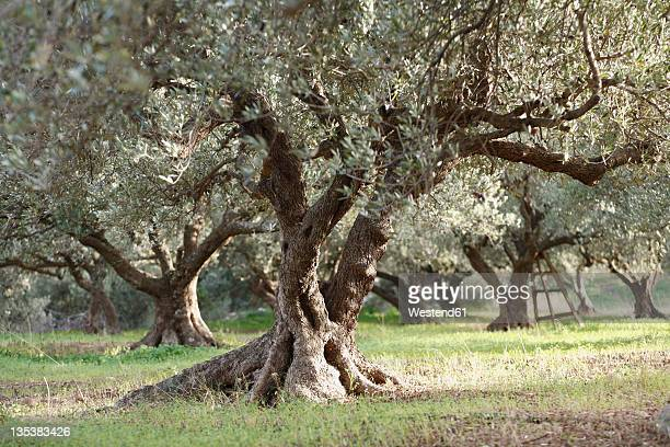 Greece, Crete, Olive tree in olive orchard