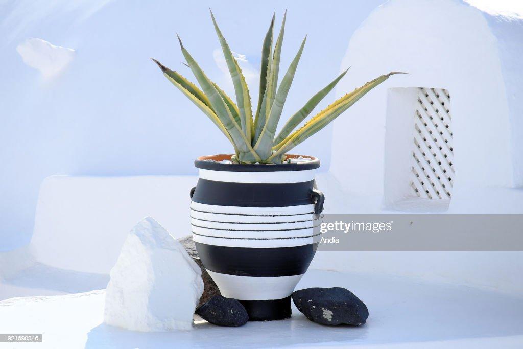 Greece, Cyclades, Santorini Island (also Thera or Thira): aloe vera in a pot.