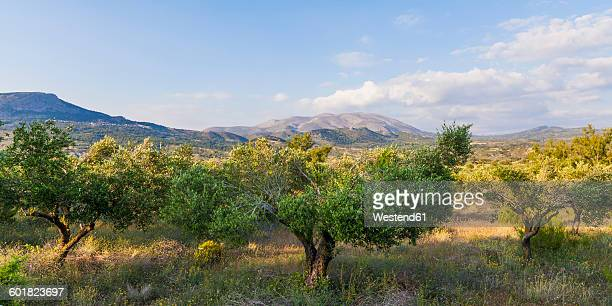 greece, dodecanese, rhodes, view of ataviros mountain, olive orchard - olive orchard stock photos and pictures