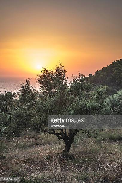 greece, kalamata, olive trees, sea and sunset - kalamata olive stock photos and pictures