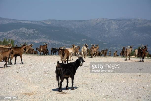 greeek goats - ギリシャ ストックフォトと画像