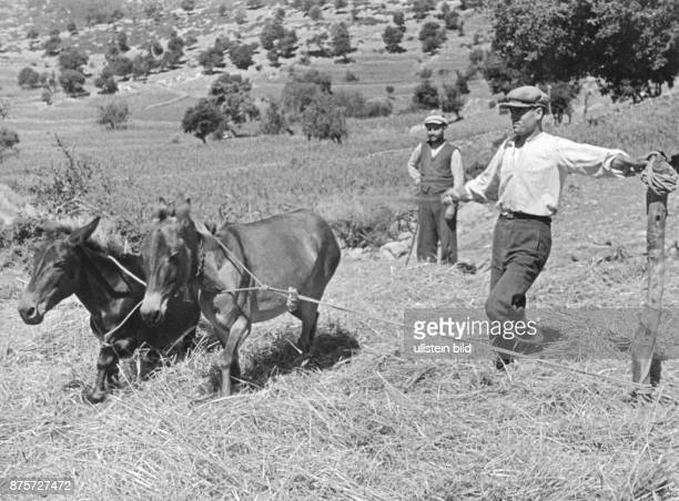 Greek farmer treshing cereals using horses in Thessaly Wolff Tritschler Series Greece by car