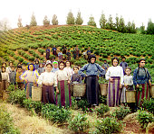 Greek women harvesting tea at a plantation near chakva georgia circa picture id88619473?s=170x170
