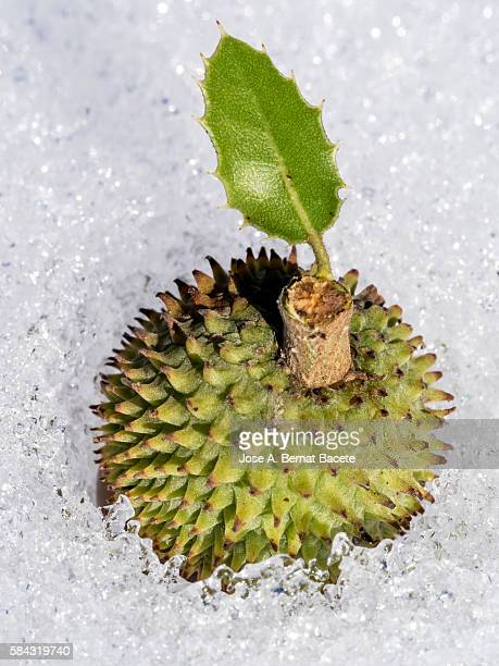 Green acorn in the ground covered with snow in winter