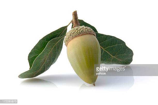 green acorn - live oak tree stock pictures, royalty-free photos & images