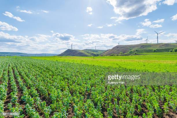 green agriculture and blue sky - hebei province stock pictures, royalty-free photos & images