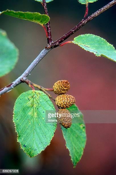 Green alder leaves and catkins Alaska US