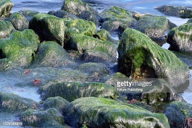 Green algae cover the rocks off the Black Sea coast in Odesa, southern Ukraine. - PHOTOGRAPH BY Ukrinform / Barcroft Studios / Future Publishing