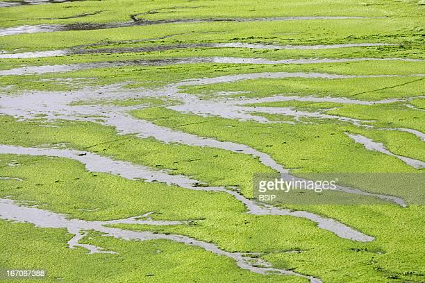 Green algae, Green algae in Brittany, France.
