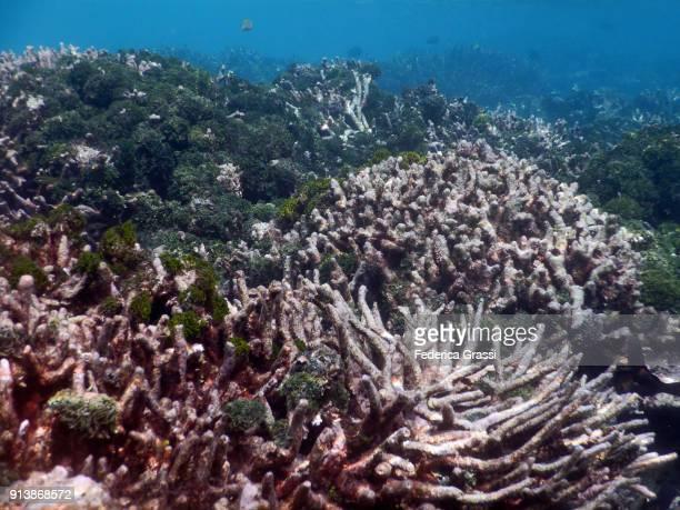 Green Algae Growing On Bleached Coral Reef