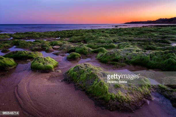 green algae on beach rocks during sunset, portugal - green algae ストックフォトと画像