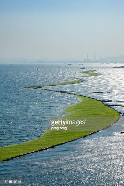 green algae - green algae ストックフォトと画像