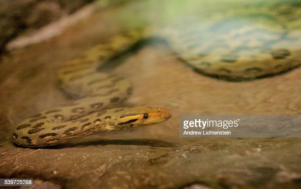A green anaconda dips down under the water in the small pool in his concrete enclosure at the Bronx zoo's reptile house The zoo has an excellent...