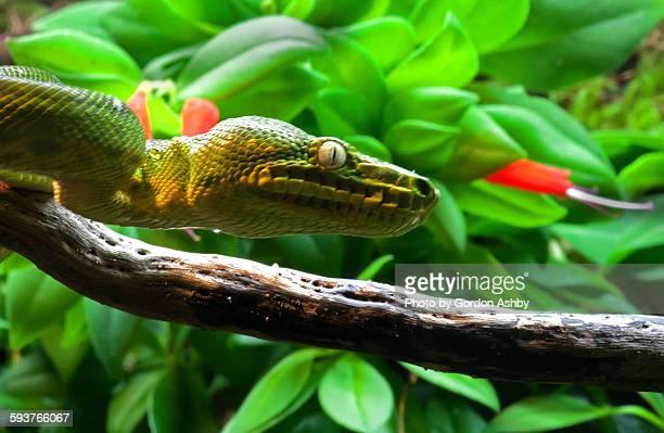green anaconda head - anaconda snake stock photos and pictures