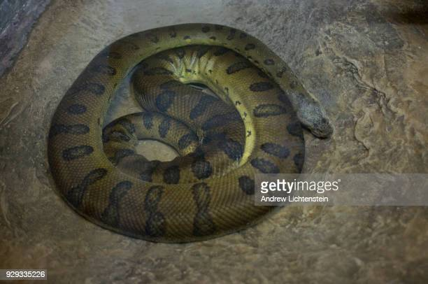 A green anaconda lies coiled up in its enclosure on February 18 2018 in the Bronx Zoo's reptile house in the Bronx New York