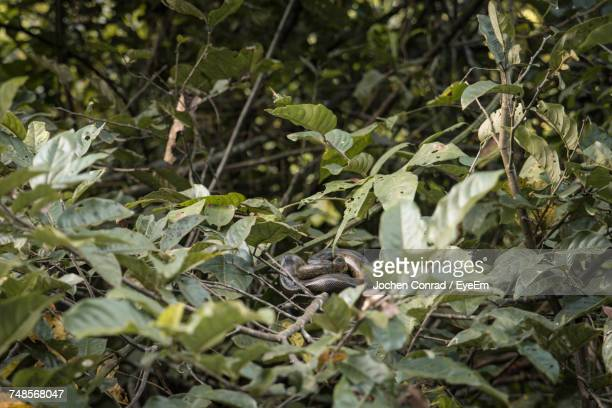 green anaconda on plants in forest - anaconda stock pictures, royalty-free photos & images
