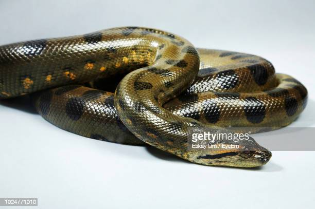 green anaconda on white background - anaconda stock pictures, royalty-free photos & images