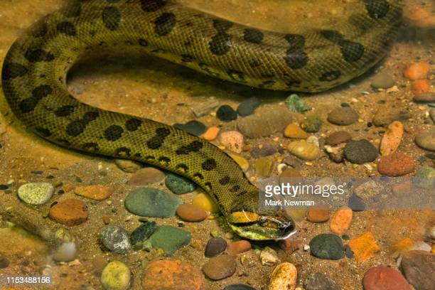 green anaconda - anaconda snake stock pictures, royalty-free photos & images