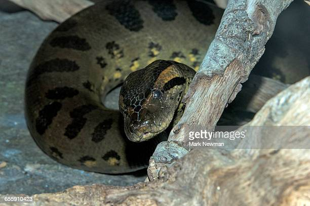 green anaconda - anaconda stock pictures, royalty-free photos & images