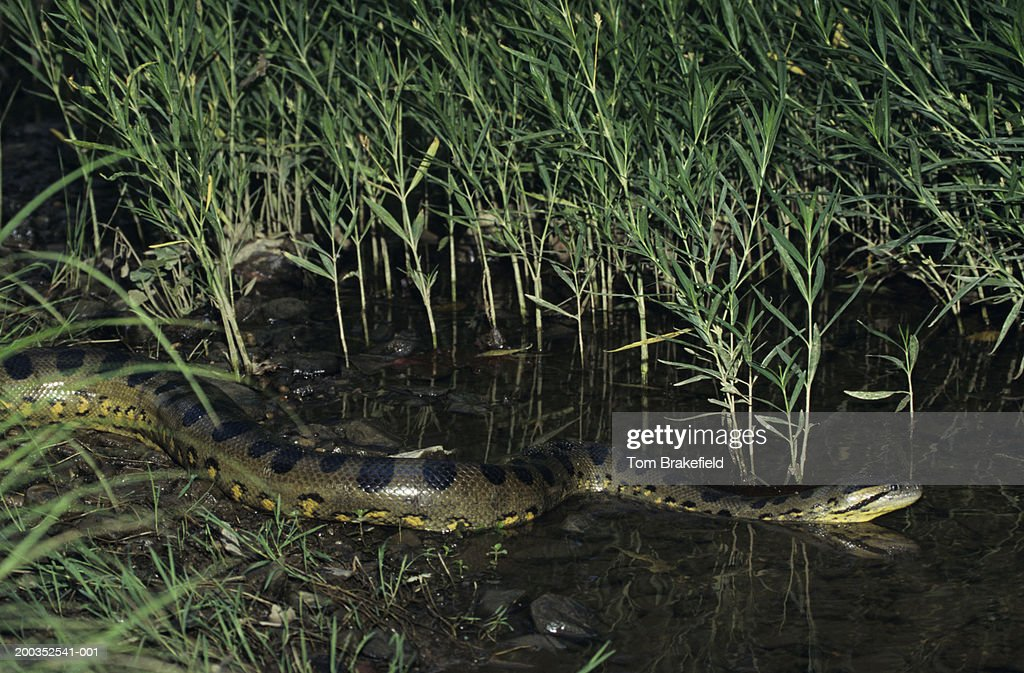 Green Anaconda Worlds Largest Snake South America Stock Photo