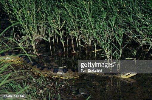 Where Do Anacondas Live? - WorldAtlas.com