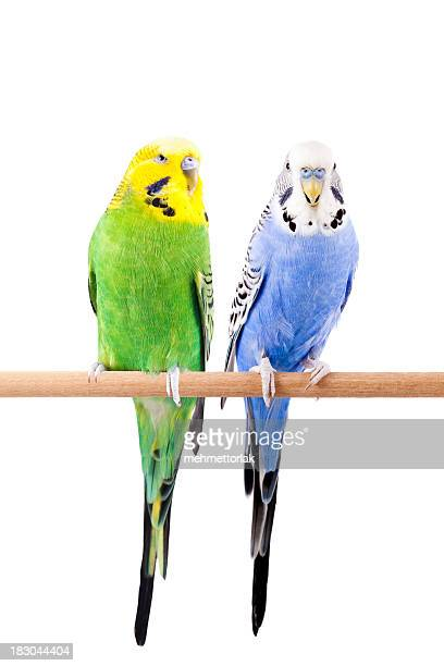 Green and Blue Budgie
