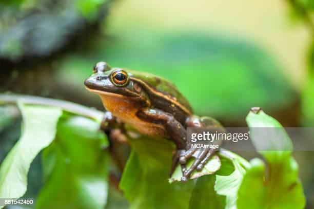 green and golden bell frog-new zealand - especies amenazadas fotografías e imágenes de stock