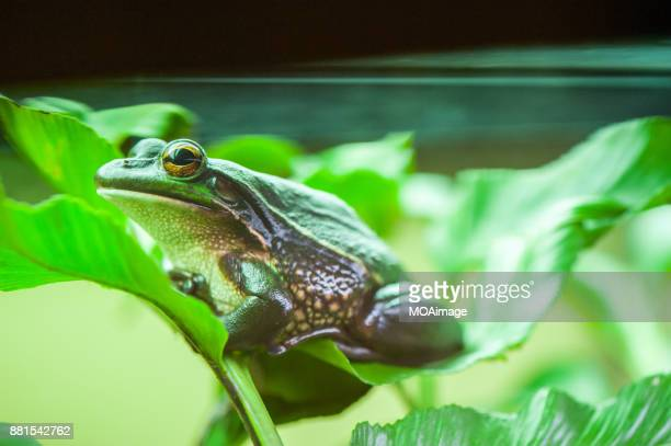 Green and Golden Bell frog-New Zealand