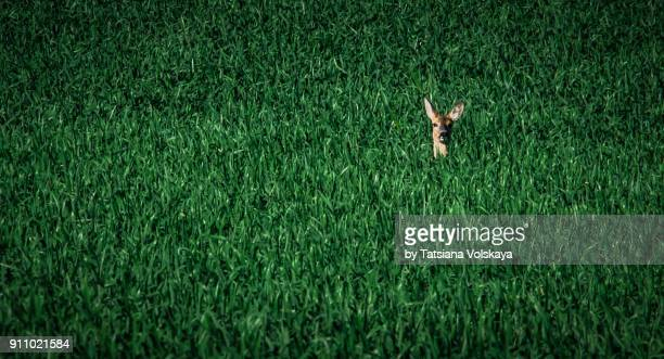 green and gray spring field abstract background with roe deer - chevreuil photos et images de collection