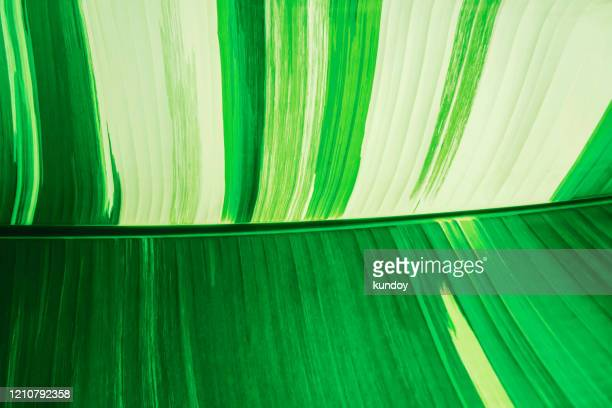 green and white banana leaf, abstract natural texture background. - banana tree stock pictures, royalty-free photos & images