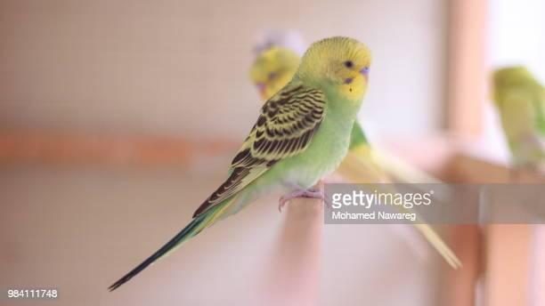 green and yellow budgie - パラキート ストックフォトと画像