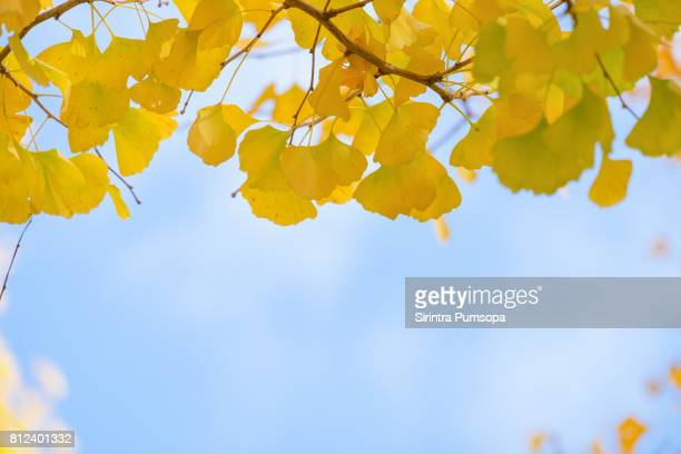 green and yellow fall leaves of ginkgo biloba, maidenhair trees in autumn at japan. yellow ginkgo leaf against blue sky background. - ginkgo tree stock pictures, royalty-free photos & images