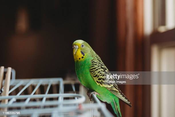 green and yellow female parakeet looking at the camera sitting on cage - beak stock pictures, royalty-free photos & images