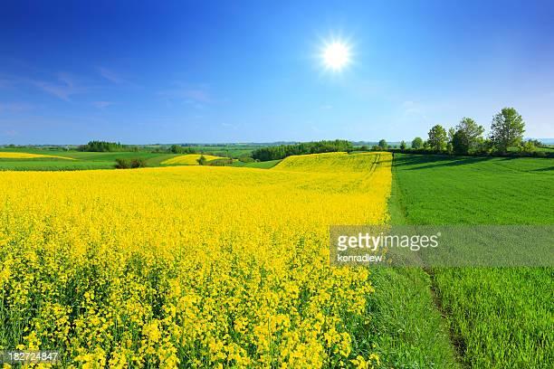 Grünen und gelben Feld-Landschaft