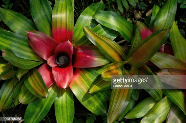 green and yellow striped blushing neoregelia bromeliads in a garden - bromeliaceae stock pictures, royalty-free photos & images