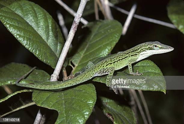 Green Anole, Anolis carolinensis, camouflaged on leaf, Everglades National Park, Florida, USA