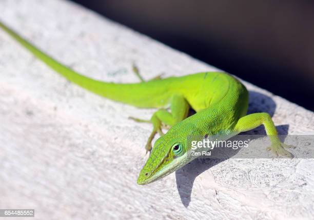 green anole close-up - anole lizard stock pictures, royalty-free photos & images