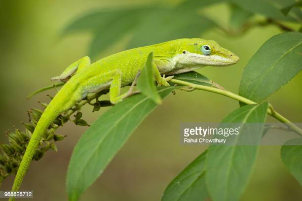 a green anole lizard in its natural habitat. - anole lizard stock pictures, royalty-free photos & images