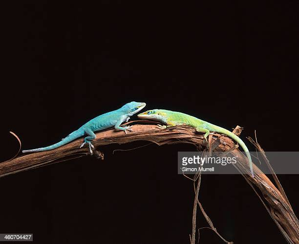 green anole lizards - anole lizard stock pictures, royalty-free photos & images