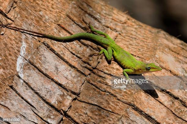 green anole (anolis carolinensis) on tree trunk, half moon caye island, belize - iguana family stock photos and pictures