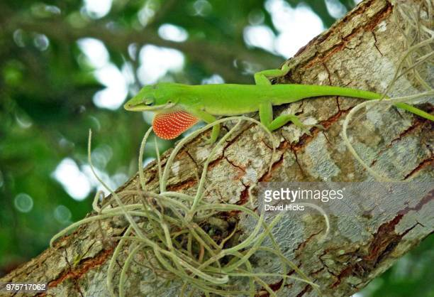 green anole - anole lizard stock pictures, royalty-free photos & images