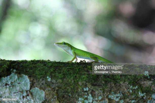 green anole posing - anole lizard stock pictures, royalty-free photos & images