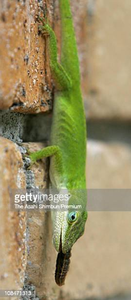 A green anole preying an insect is seen in Hahajima Island on June 11 2006 in Ogasawara Tokyo Japan The anole is nonnative animal for Ogasawara...