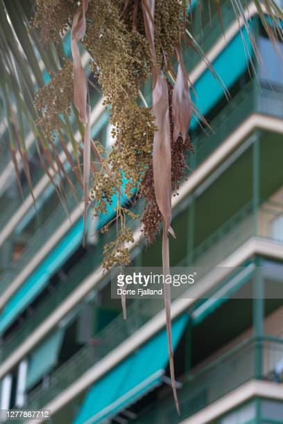 green apartment building with green shades, leaves and fruits of a palm tree in foreground - dorte fjalland fotografías e imágenes de stock