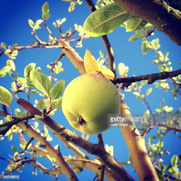 Green apple hanging from the tree against blue sky