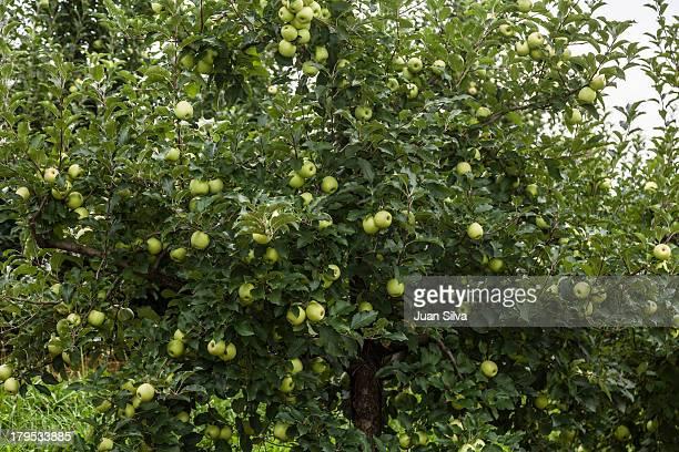 Green apple tree, Blue Ridge, GA